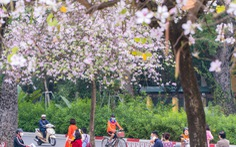 Ngắm hoa ban nở rực rỡ trên đường phố thủ đô