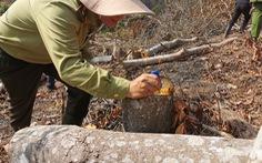 Lâm Đồng muốn thu hồi dự án không lập thủ tục thuê rừng