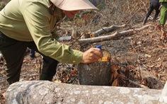 Xác định 2 nghi can phá rừng phòng hộ ở Đà Lạt