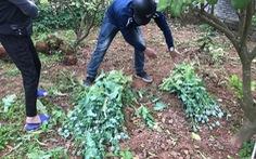 8 hộ trồng cây anh túc trong vườn để 'làm rau ăn', 'nuôi lợn'