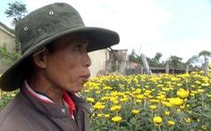 Thương lái bỏ cọc, người trồng hoa tết Phú Yên như 'ngồi trên lửa'