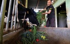 Nông dân cắt hoa layơn cho bò ăn thay cỏ