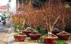 Mang 1.000 cây đào vào Sài Gòn, 3 ngày bán được 10 cây...