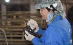 Lần đầu tiên Việt Nam nhân bản thành công lợn ỉ từ tế bào soma mô tai