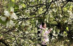 Lên Tà Xùa ngắm rừng hoa táo mèo giữa lưng chừng trời
