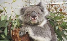 Con Koala ở vườn thú Nhật Bản lập kỷ lục Guinness thọ nhất thế giới