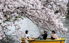 Hoa anh đào Nhật nở rộ bất thường: Vẻ đẹp tiềm ẩn hiểm họa