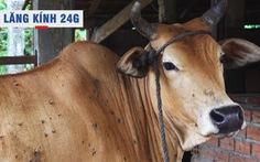Lăng kính 24g: Khẩn trương dập dịch bệnh viêm da nổi cục trên trâu, bò