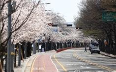 Người Hàn phải rút thăm để 'trúng thưởng' ngắm hoa anh đào