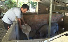 Đề xuất không cho chăn nuôi trong nội thành Hội An, Tam Kỳ và Điện Bàn