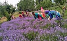 Nông dân Ấn Độ trồng hoa oải hương để đánh bại hạn hán
