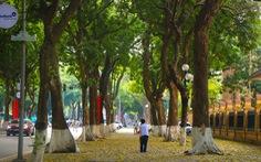 'Con đường đẹp nhất Hà Nội' rực vàng mùa sấu thay lá