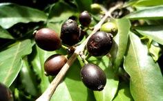 Cà phê Stenophylla tái xuất hiện sau nhiều thập kỷ biến mất