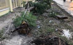 Cây phượng bật gốc trong cơn mưa trái mùa đè nữ điều dưỡng chết, bỏ lại 2 con nhỏ
