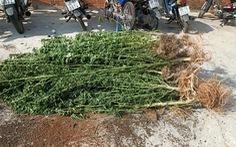 Trồng hàng trăm cây cần sa trong nhà, một người nước ngoài trưng giấy phép của... Canada