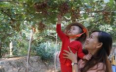 Vườn nho trĩu quả ở Đồng Tháp mở cửa tham quan miễn phí