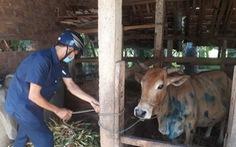 Bệnh viêm da nổi cục ở trâu bò bùng phát tại Bình Định