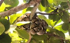 Ra sân trường hóng mát, cô giáo tá hỏa vì con trăn gấm gần 30 ký lủng lẳng trên cây