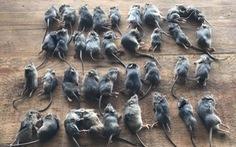 'Đại dịch chuột' lan khắp Australia có thể kéo dài 2 năm