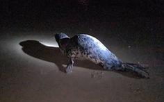 Hải cẩu xuất hiện ở bãi biển Quảng Nam được ngư dân bắt thả lại biển