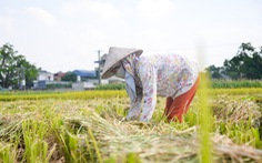 Tháng năm mùa gặt về, nông dân 'đội nắng' ra đồng thu hoạch lúa