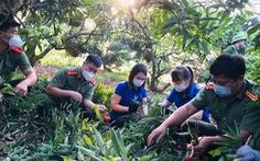 Hàng ngàn 'áo xanh' tình nguyện thu hoạch vải thiều giúp dân xuyên đêm
