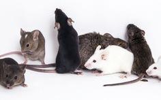 Thí nghiệm thành công khiến chuột đực sinh con