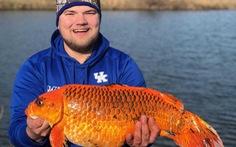 Cá vàng kích thước khủng trong hồ tại Mỹ