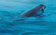 Mexico nỗ lực bảo vệ loài cá heo sắp tuyệt chủng