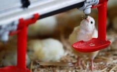 Pháp cấm tiêu hủy gà trống con từ năm 2022