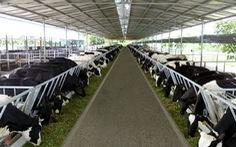 Hàng trăm tấn sữa bò, nhãn của bà con Nông trường Sông Hậu có nguy cơ phải đổ