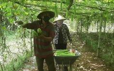 Một nông dân Khmer tặng cả vườn bầu 600 gốc sai trái cho bà con khu vực cách ly