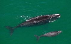 Tàu thuyền chạy quá tốc độ đe dọa cá voi trơn ở Bắc Đại Tây Dương