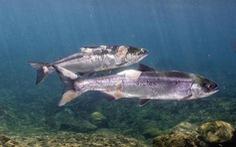 Cá hồi thương tích đầy mình vì nước sông quá nóng