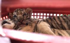 Bắt hai người chở 7 con hổ từ Hà Tĩnh qua Nghệ An bán
