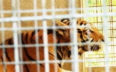 Cận cảnh 9 con hổ ở Nghệ An còn sống sau vụ 'giải cứu'