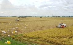 Giá lúa miền Tây đã tăng, giá tôm nơi cao chỗ thấp