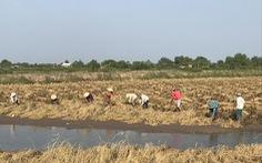 Đề xuất cứu lúa gạo miền Tây bằng 'luồng xanh' đường thủy