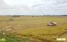 Giá lúa ở miền Tây tăng trở lại, nhưng thu mua vẫn khó khăn