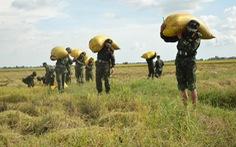 Sư đoàn 330 giúp dân thu hoạch và vận chuyển lúa hè thu trong đại dịch COVID-19