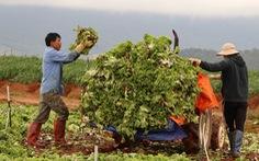 Không kịp tiêu thụ, rau hoa Đà Lạt cắt bỏ để dọn vườn