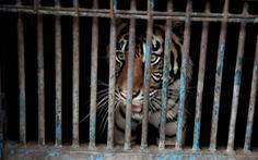 Hai con hổ Sumatra mắc COVID-19 đã khỏi bệnh