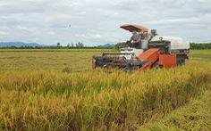 Giá lúa, nếp miền Tây nơi tăng nơi giảm