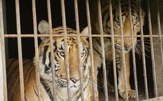 Nghệ An 'nóng ruột' hướng xử lý 9 con hổ thu từ nhà dân, nuôi tốn 20 triệu đồng/ngày