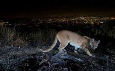Bà mẹ tay không đánh sư tử cứu con trai 5 tuổi
