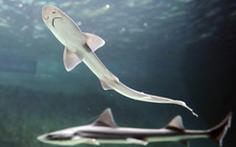 Hy hữu cá mập cái sinh con sau 10 năm không gặp con đực