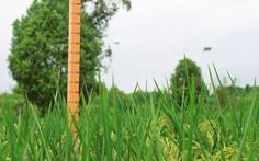 Trung Quốc trồng thành công 'lúa khổng lồ' cao tới 2m