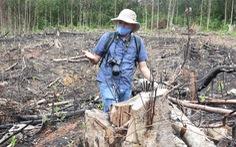 Đốn hạ rừng phòng hộ đầu nguồn để… trồng keo