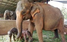 Sri Lanka: Voi sinh đôi, 80 năm mới có một lần
