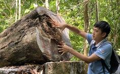 Lâm tặc làm đường, vào rừng phòng hộ đốn cây